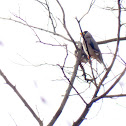 Masked Hawfinch