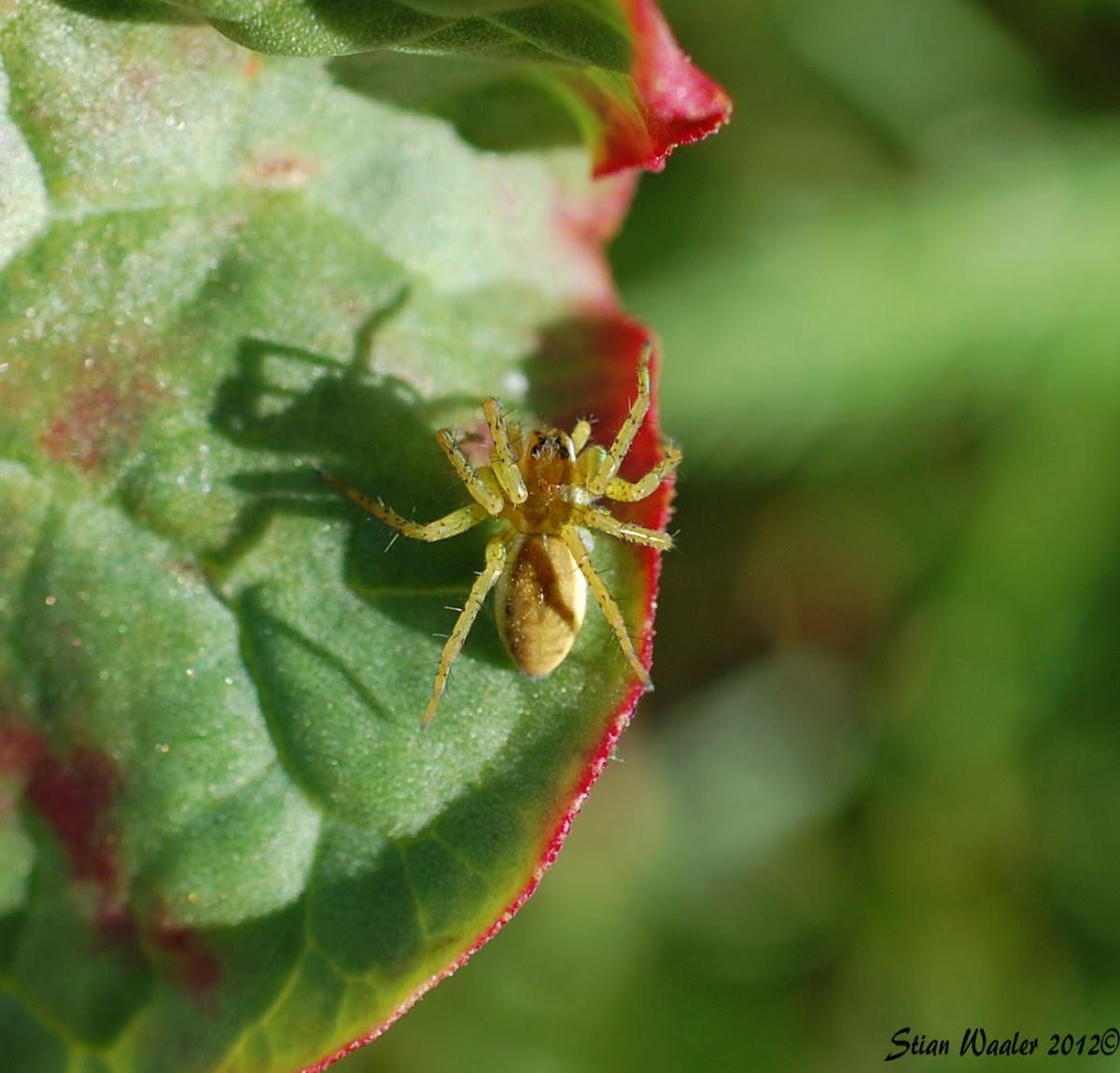 Green Huntsman Spider