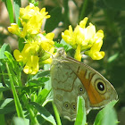 Common Wall Butterfly