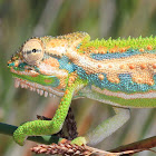 Cape dwarf chameleon and juvenile