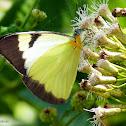 Lycimnia White