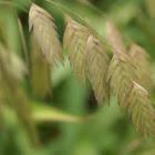 Grass/Gras