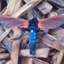 Spotted Oleander Wasp Moth