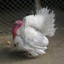 White domestic turkey
