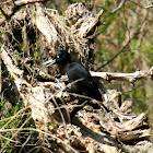 Black Woodpecker (Schwarzspecht)
