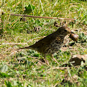 Song Thrush (snail bashing)