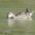 Blue-winged Teal Duck (female)