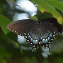 Eastern Tiger Swallowtail, Dark Form