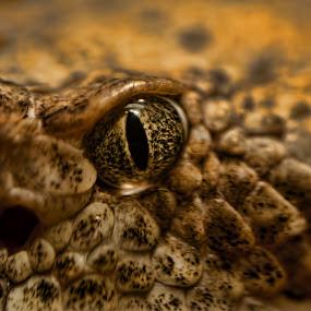 Viper by Michael Shaffer - Animals Reptiles ( pit viper, scales, rattlesnake, michael shaffer, snake eye, snake, creepy. scary, macro, michael, shaffer, dof, reptile, viper, animal, eye,  )
