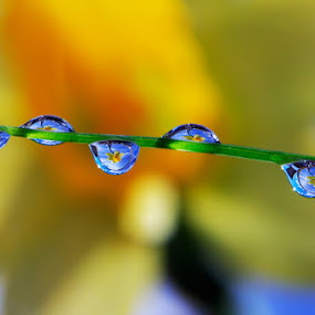 water drops by Einar Bjaanes - Nature Up Close Natural Waterdrops ( water, macro, flower, norway, innside )
