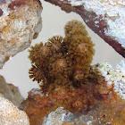 Monkey Tail Gorgonian Coral