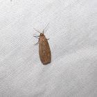 Pale Lichen Moth