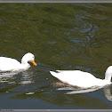 Witte kwaker