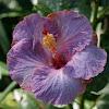 Hibiscus spp.