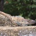 Black Iguana or Black Spiny-Tailed Iguana
