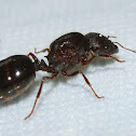 Marauder ants