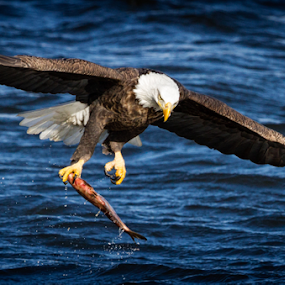 One-Handed Catch by Mike Trahan - Animals Birds ( flying, flight, nature, bald eagle, mississippi )