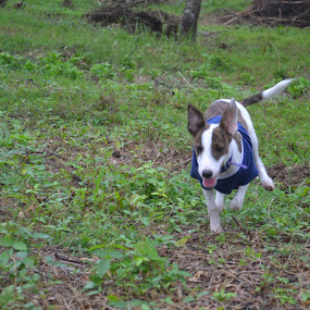 Enjoying the Fields by Anjsh Lacanlale - Animals - Dogs Running ( mixbreed, terrier, dog, running, jackrussel )