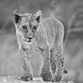 Lion Cub by Adéle van Schalkwyk - Black & White Animals ( wild, lion, free, baby, cub )