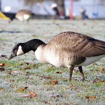 Endangered Birds of British Columbia