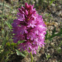 The Pyramidal Orchid