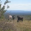Feral horse (Wild Horse)