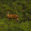 Common Barking Deer