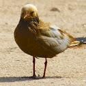 Unknown gull(?)