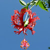 Lantern hibiscus