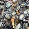 Philippine Mollusks