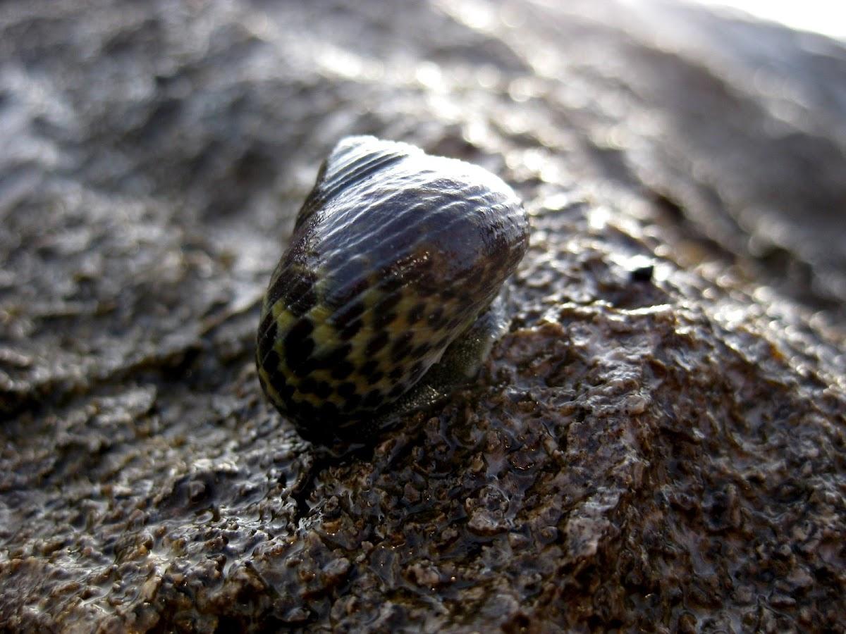 common periwinkle; bígaro común