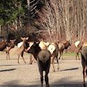 Elk(wapiti)
