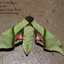 Lesser Pink-and-Green Hawk moth