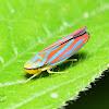 Red-Banded Leaf Hopper