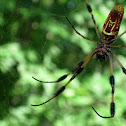 Golden Orb Weavers