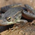 Rana (frog)