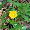 Common Wood Poppy or Celadine Poppy