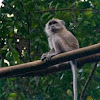 Long-tailed Macaque?