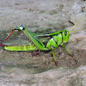 Green Tree Locust