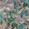 Berry on tree
