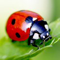 Ladybug Live Wallpaper icon