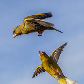 verdilhões by José Vieira - Animals Birds ( aves, birds, pássaros )