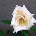 Rose - white rose