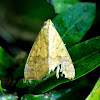 White-pupiled Scallop Moth,  Cotton Looper, Tropical Anomis