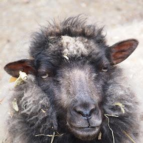 Sheep Portrait by Joe Spandrusyszyn - Animals Other Mammals ( farm, shetland sheep, zoo, sheep, animal,  )
