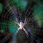 Wasp spider, araña cestera