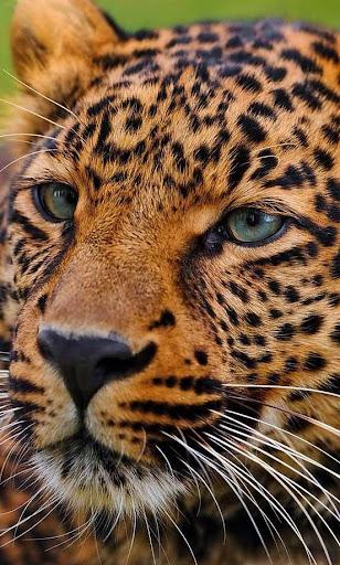 Savanna Leopard live wallpaper