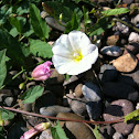 Field Bindweed aka Orchard Morning-Glory