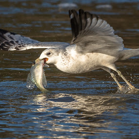 Seagull with Big Fish by Mike Watts - Animals Birds ( bird, seagull, fish )