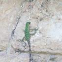 Iguana, X'tolok, Black Iguana